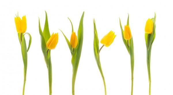 1024px-Tulips_-5527089753